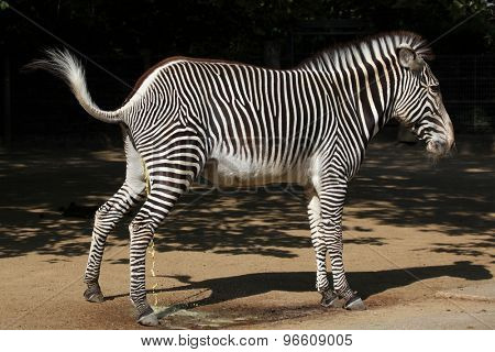 Grevy's zebra (Equus grevyi), also known as the imperial zebra urinating. Wild life animal.