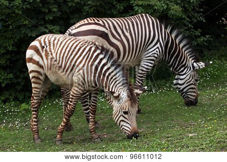 Hartmann's mountain zebra (Equus zebra hartmannae). Wildlife animal.