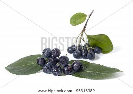Black chokeberry - aronia on a white background poster