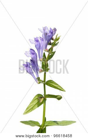 Scutellaria baicalensis (Baikal Skullcap) isolated on white