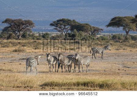 Harem Of Zebras