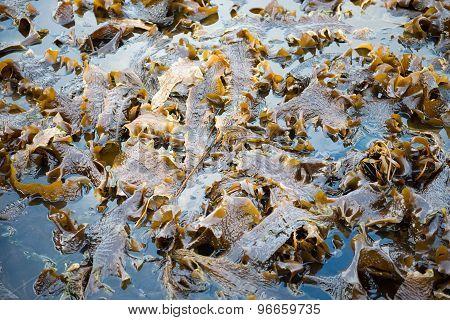 Laminaria Algae At Low Tide