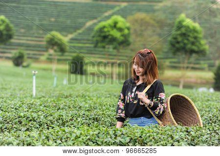 Asia Beautiful Woman Picking Tea Leaves In A Tea Plantation, Happyness