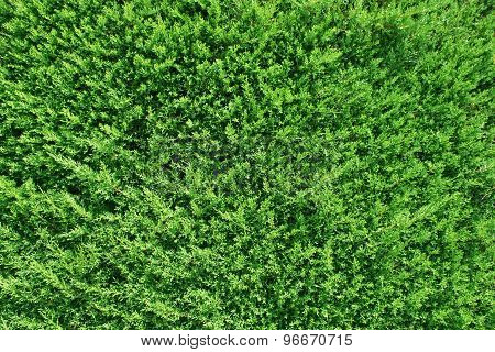Green Thuja  Background