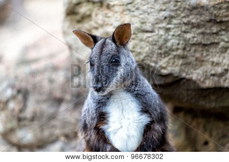 Black wallaby against the rocks