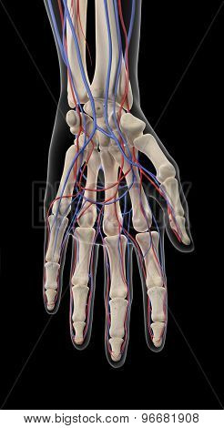 medically accurate illustration of the arteries and veins of the hand