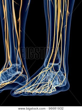 medically accurate illustration of the foot nerves