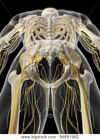 medically accurate illustration of the pelvic nerves