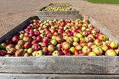 The fresh picked apple harvest in wooden bins on the farm. poster