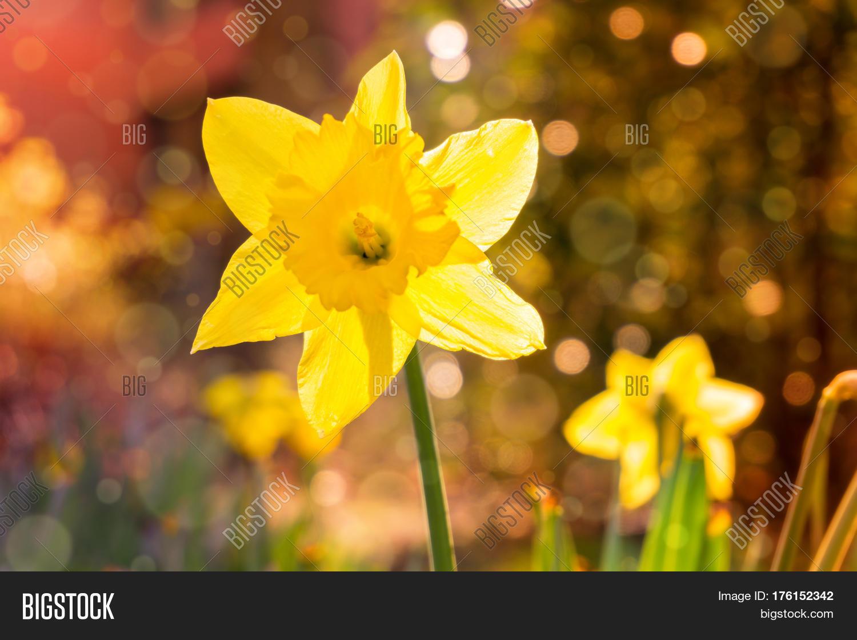 Spring awakening image photo free trial bigstock spring awakening in the morning yellow daffodils in spring spring flowers yellow flowers mightylinksfo