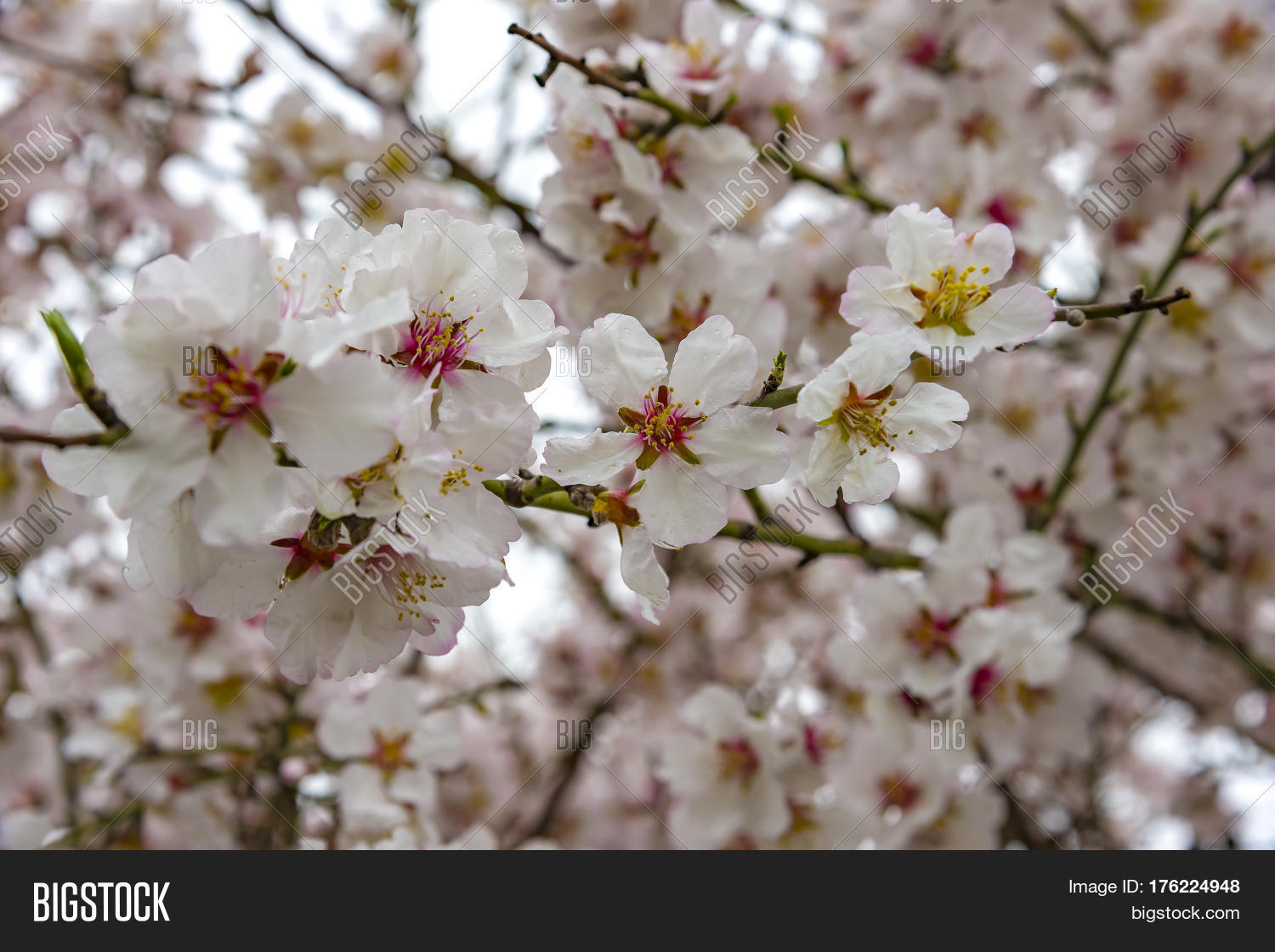 view almond tree image photo free trial bigstock