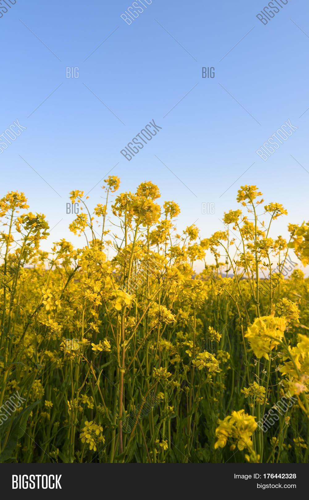 Farm Field Yellow Image Photo Free Trial Bigstock