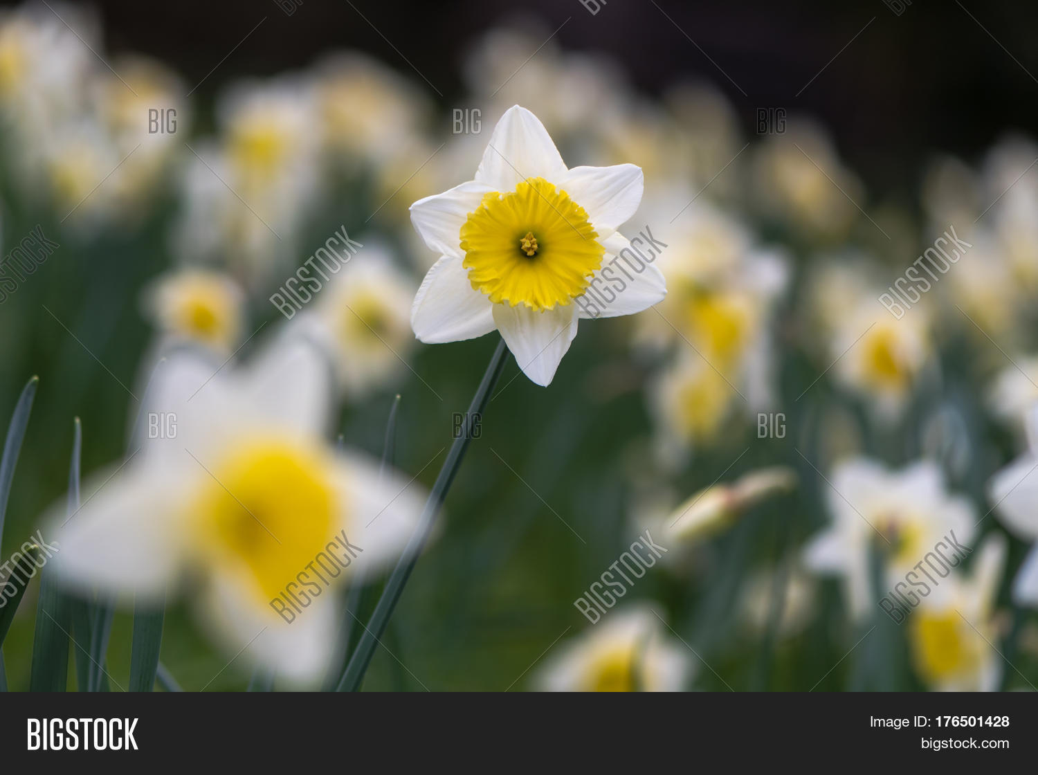 Daffodil Narcissus Ice Image Photo Free Trial Bigstock