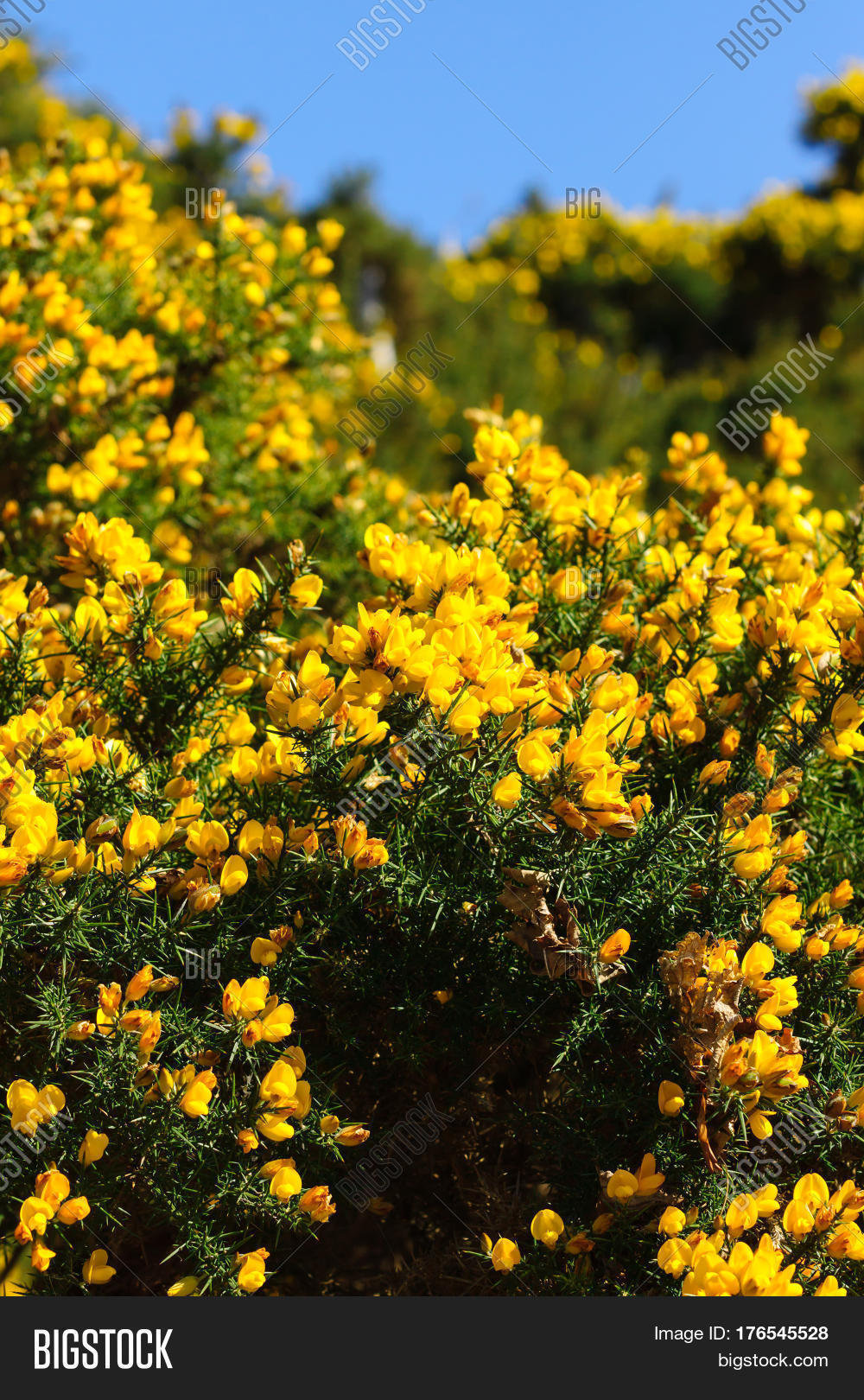 Common Gorse Ulex Image Photo Free Trial Stock