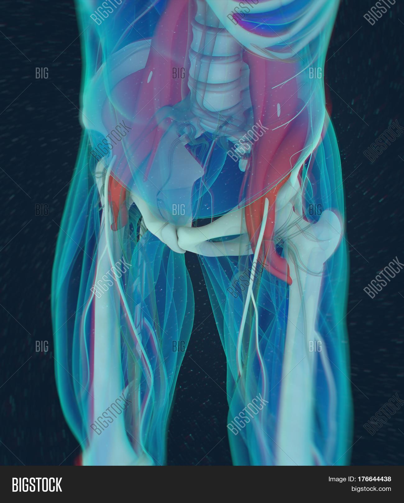 Human Anatomy, Psoas Image & Photo (Free Trial) | Bigstock