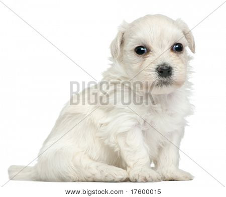 Lowchen or Petit Chien Lion puppy, 3 weeks old, sitting in front of white background poster