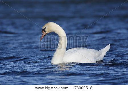 Mute Swan (Cygnus olor) swimming on a lake - Kensington Metropark Michigan poster