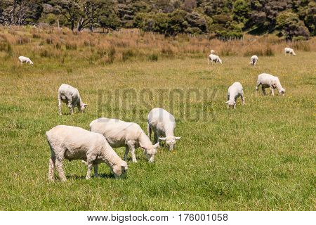 flock of sheared sheep grazing on meadow