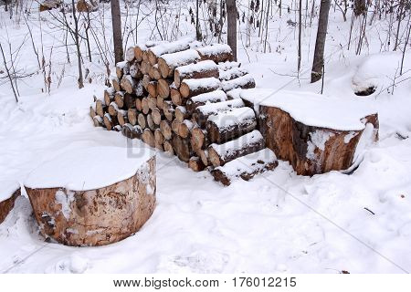 Cut felled pine trees in the winter forest. Deforestation.