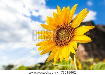 Yellow Sunflower with cloud and nice sky
