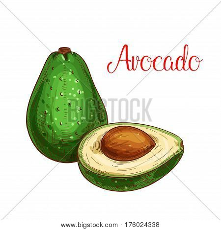 Avocado sketch. Vector isolated fruit icon of exotic cut or sliced to flesh. Dietary tropical asian or mediterranean fruit of for grocery store, shop and farm market or product label