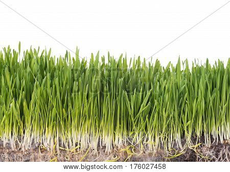 Bright green grass in the organic soil over white background