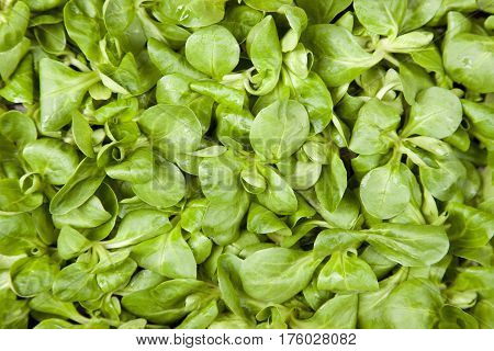 Lamb's Lettuce Background