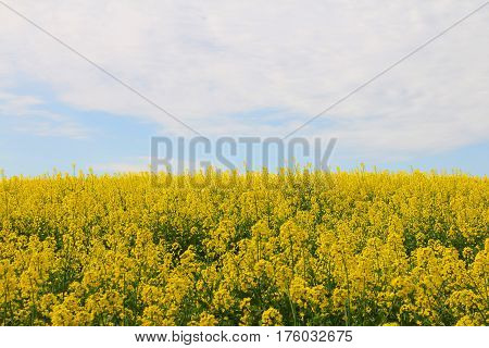 View on Yellow blooming flowers rapeseed field landscape