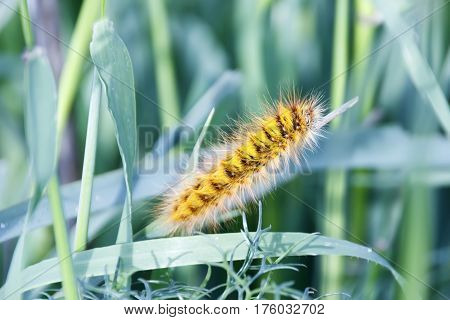 Shaggy caterpillar in the grass on green leaf