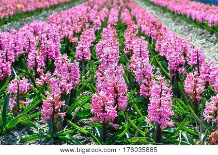 Typical Holland spring flower panorama with pink rows of hyacinth at the field in Holland