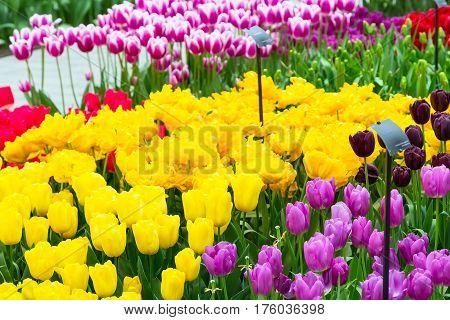 Colorful tulips flower blossom in pavillion of dutch spring garden Keukenhof, Holland