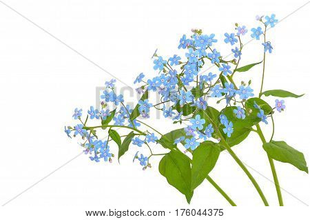 Forget-me-not flowers isolated on a white background