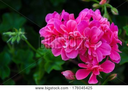 Geranium Flowers Background
