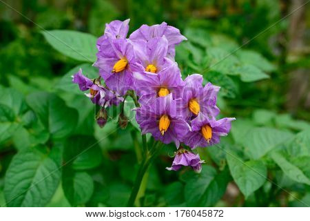 Maris Peer potato plant with purple flowers UK.