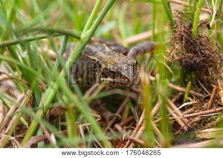 Common European Frog Latin name Rana Temporaria crawling through grass photographed in the wild shallow focus