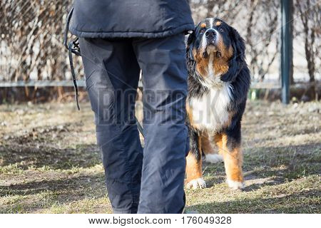 Bernese mountain dog standing and looking at its owner. Back of the owner is unrecognizable.