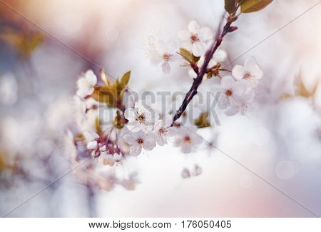 Cherry branches with white flowers in the spring.