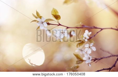 Branch of the blossoming cherry in the spring