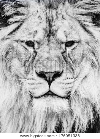 Male lion face. Close-up portrait of huge african feline. Black and white image.
