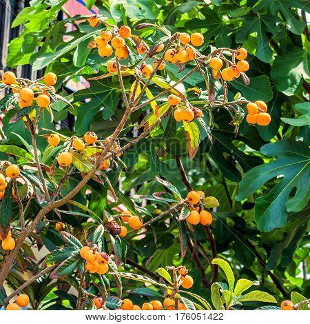 Ripe juicy medlars hang on green tree