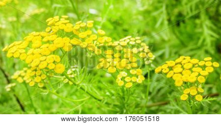 Beauty summer tansy yellow in green field of forest