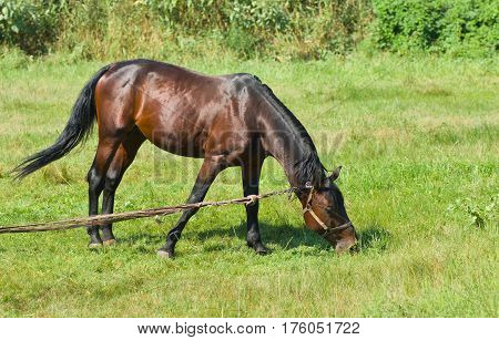 Bay horse (stallion) on the summer pasture is trying to reach some tasty grass.