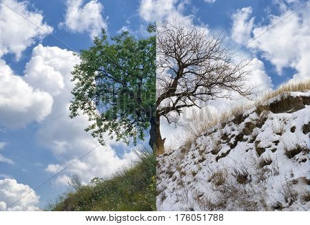 Lonely apricot tree on a hill in two opposite season - summer and winter.