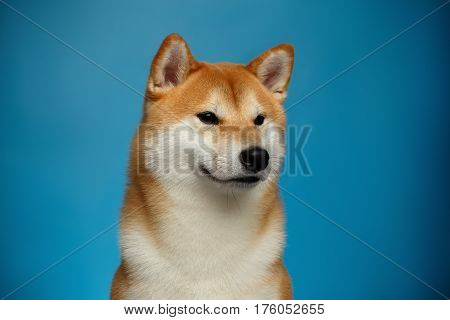 Portrait of Brutal Shiba inu Dog on Blue Background, Front view