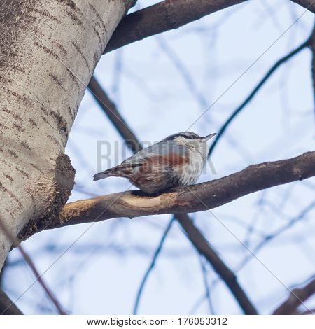Eurasian or wood nuthatch Sitta europaea close-up portrait on tree selective focus shallow DOF.