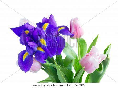 Blue irises and pik tulips close up isolated on white background