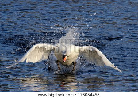 A mute swan flapping its wings to take off from a lake.
