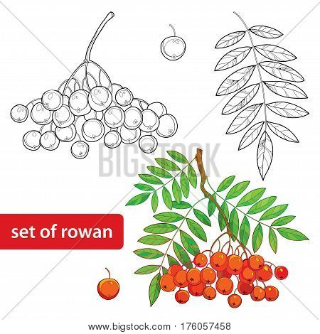 Vector set with outline Rowan or Rowanberry, bunch, leaves and berry isolated on white. Illustration with autumn berry. Floral elements with rowan in contour style for autumn design and coloring book.