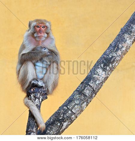 Monkey portrait sitting on a branch on a vivid yellow background