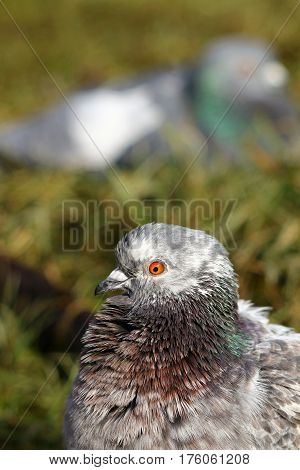 A feral pigeon with a resting companion behind